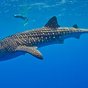Underwater photo of two snorkelers swimming with a Whale Shark (Rhincodon typus) Gladden Spit and Silk Cayes Marine Reserve, off the coast of Placencia, Stann Creek, Belize