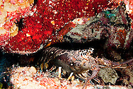 Spiny Lobster, Palinuridae argus, Latreille, 1804, Andes Wall, Grand Cayman