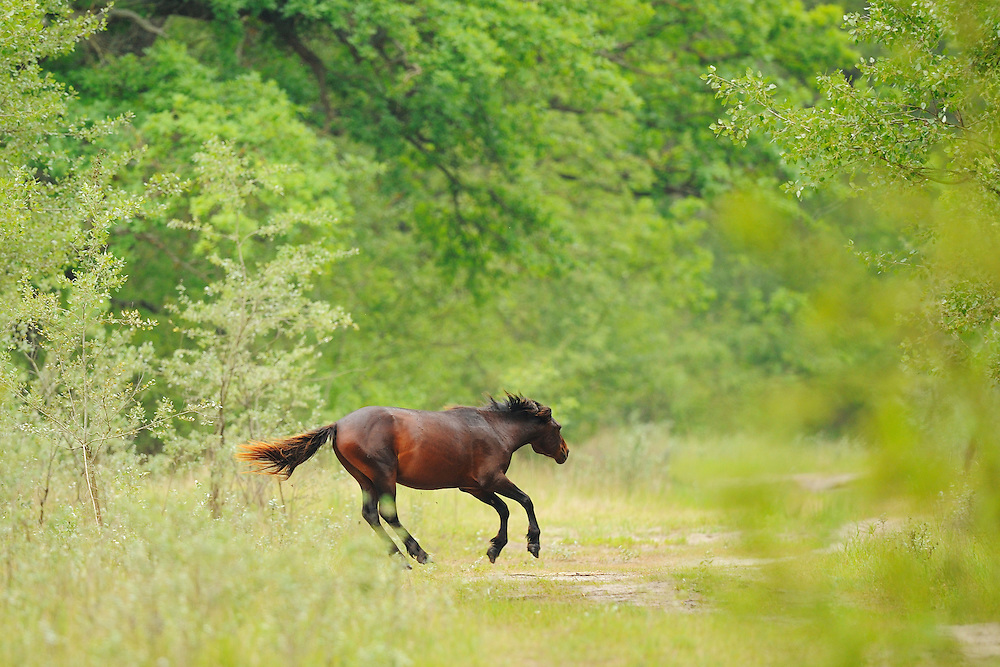 Wild horses from ancient race, Letea forest, Strictly protected nature reserve, Danube delta rewilding area, Romania