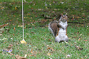 """Squirrel fishing<br /> <br /> sounds crazy but this actually happens in the US and Japan.<br /> Squirrel fishing is the sporting practice of """"catching"""" squirrels and attempting to lift them into the air using a nut (preferably a peanut) tied to a string or fishing line, and optionally some kind of fishing pole.<br /> There has been some debate over where squirrel fishing originated. The practice was popularized either by Nikolas Gloy and Yasuhiro Endo, at the Division of Engineering and Applied Sciences at Harvard University, and by the Berkeley Squirrel Fisher's Club (BSF).<br /> Anyone can pull a nut from the hands of a squirrel, but the adept squirrel fisherman must tune his craft, maintaining balance between himself and the squirrel, and eventually rewarding the squirrel for his valiant competition by ceding the nut. Ideally, great care is taken not to overfeed squirrels, not to hit them with nuts, and not to treat them roughly (though verbal abuse is encouraged).<br /> A squirrel being successfully lifted - you know that you are a true professional when you can lift a squirrel more than a foot off of the ground!  Another variation on the sport is creating a large circle in the grass, and enticing the squirrel and catching them in the circle, or the variation of catching the squirrel and depositing them in the circle.<br /> ©squirrelfishing/Exclusivepix"""
