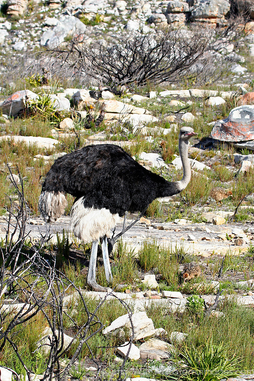 Africa, South Africa, Cape of Good Hope.  Father ostrich looks after his young.