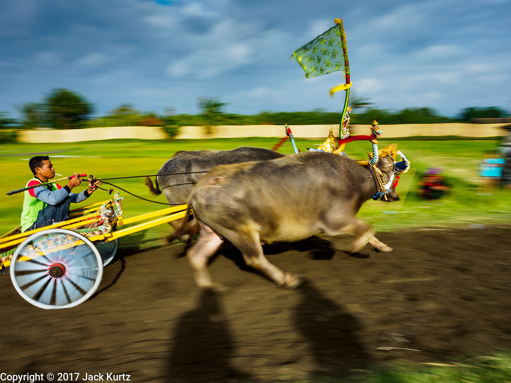 30 JULY 2017 - TUWED, JEMBRANA, BALI, INDONESIA: A man in small cart drives a team of water buffalo down the course during a makepung (buffalo race) in Tuwed, Jembrana in southwest Bali. Makepung is buffalo racing in the district of Jembrana, on the west end of Bali. The Makepung season starts in July and ends in November. A man sitting in a small cart drives a pair of buffalo bulls around a track cut through rice fields in the district. It's a popular local past time that draws spectators from across western Bali.    PHOTO BY JACK KURTZ