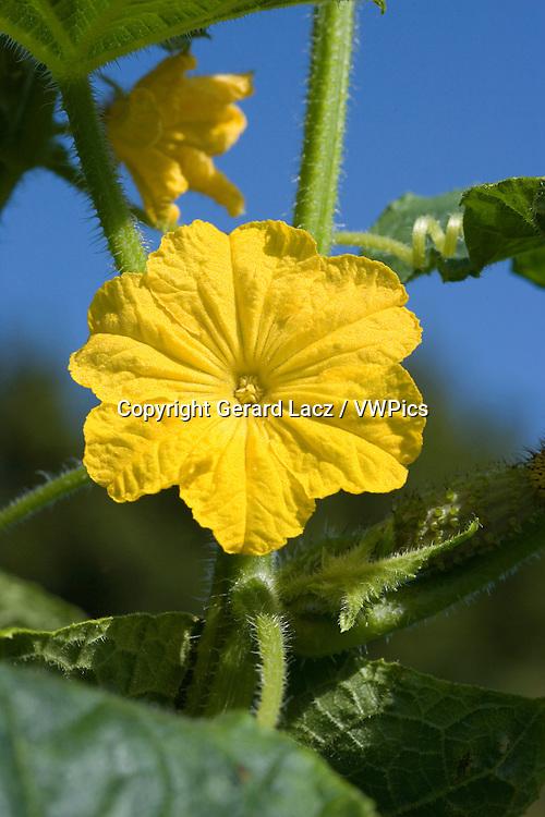 FLOWER OF GHERKIN OR PICKLE, GARDEN IN NORMANDY