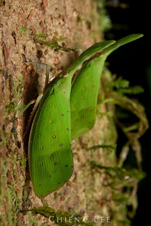 Lantern bug (Pyrops cultellatus). Sarawak, Malaysia.
