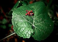 Ladybugs meet on large leaf outside Napa, CA.  Copyright 2008 Reid McNally.