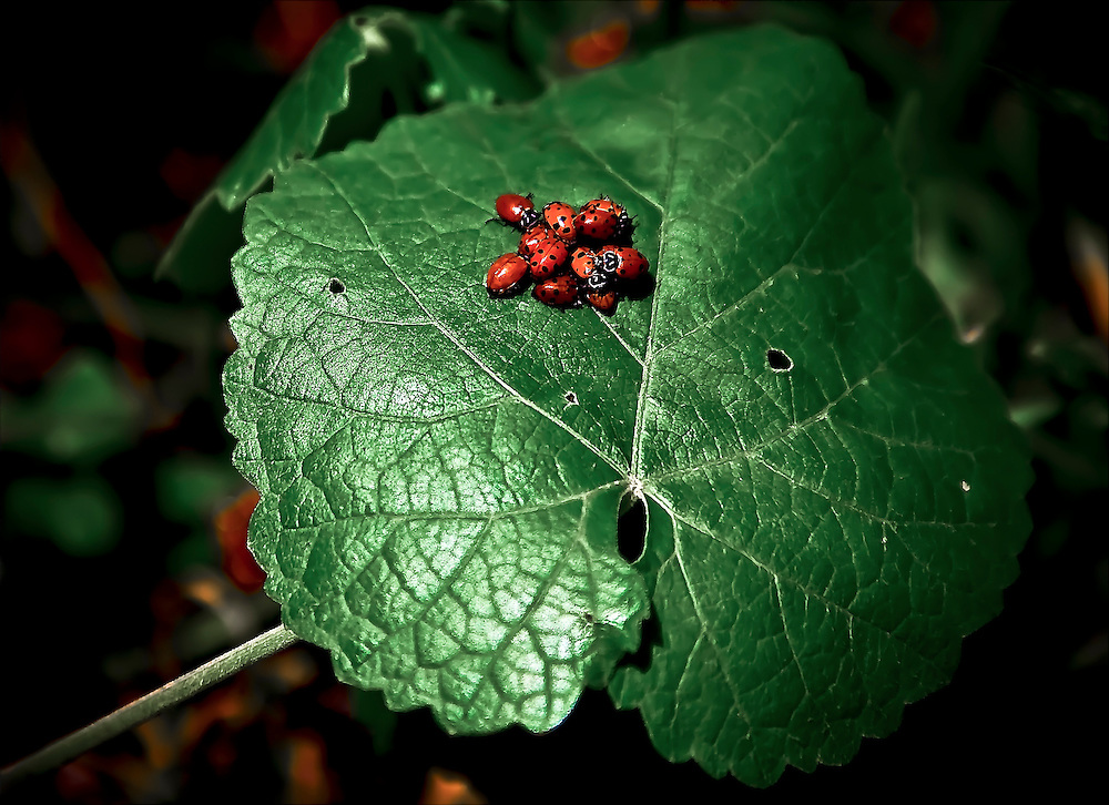 Ladybugs meet on large leaf outside Napa, CA.  Copyright 2008 Reid McNally.