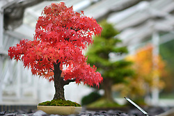 © Licensed to London News Pictures. 21/10/2012. Kew, UK A 34 year old Japanese Cork-Bark Maple turns a stunning red. It was grown from seed in the pot in which it sits. The seed came from Japan in 1967. Warm sunny days produce sugars in the leaves which help create the pigments that make up it's autumnal hues. Autumn leaves on Bonsai trees in Kew Gardens in Surrey today 21 October 2012. Photo credit : Stephen Simpson/LNP