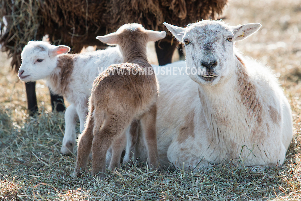 Newborn lambs stay close to a sheep in a field on a cold winter afternoon at Banbury Cross Farm in Goshen, New York.