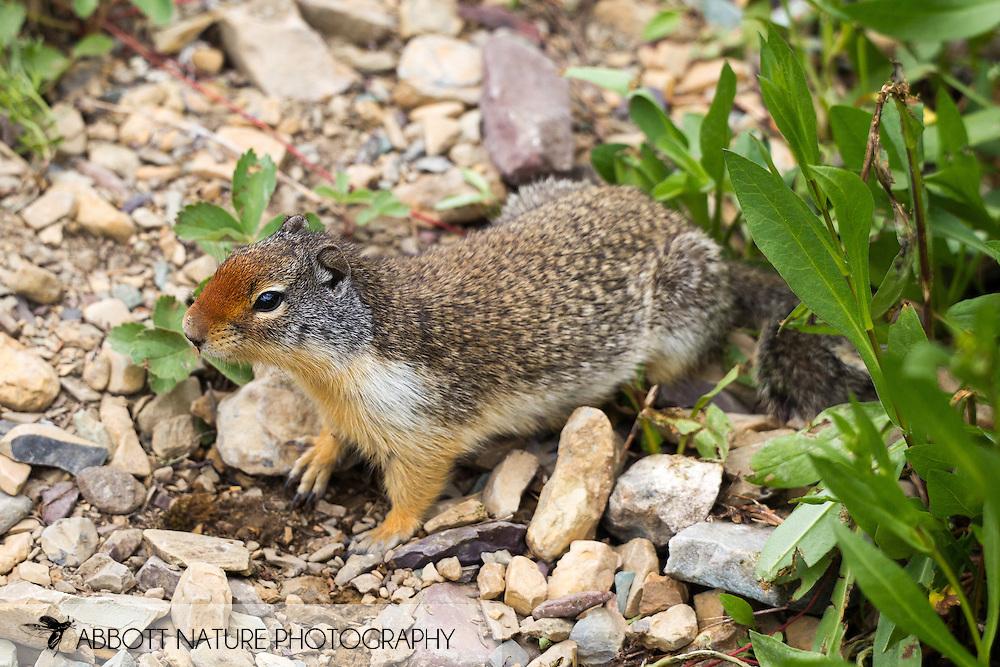 Columbian ground squirrel (Urocitellus columbianus)<br /> MONTANA: Glacier Co.<br /> Glacier National Park; along iceberg lake-ptarmigan trail<br /> 25-July-2012<br /> J.C. Abbott &amp; K.K. Abbott
