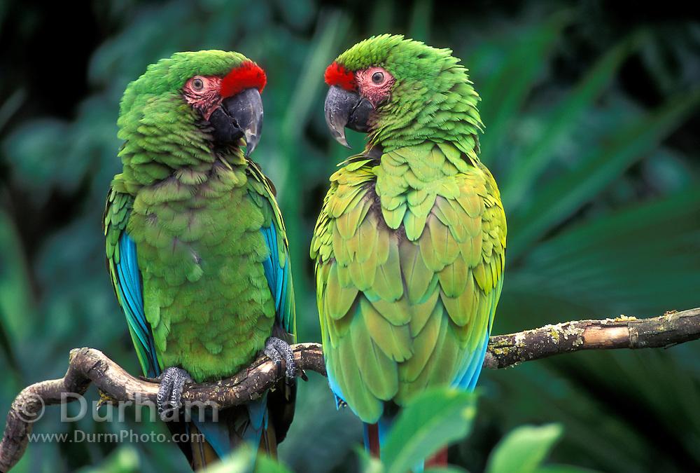 A pair of military macaws (Ara militaris). Range: South Mexico to East Bolivia, Captive, Portland Oregon. June 2000