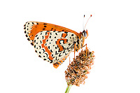 IFTE-NB-007605; Niall Benvie; Spotted fritillary; Melitaea; didyma; Europe; Austria; Tirol; Fliesser Sonnenhänge; insect arthropod invertebrate butterfly; horizontal; high key; orange white; controlled; adult; one; upland meadow grassland woodland edge; 2008; July; summer; strobe backlight; Wild Wonders of Europe Naturpark Kaunergrat