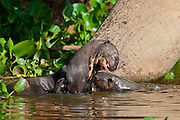 Giant River Otter fight over fish near the Cuiba river, Pantanal, Brazil
