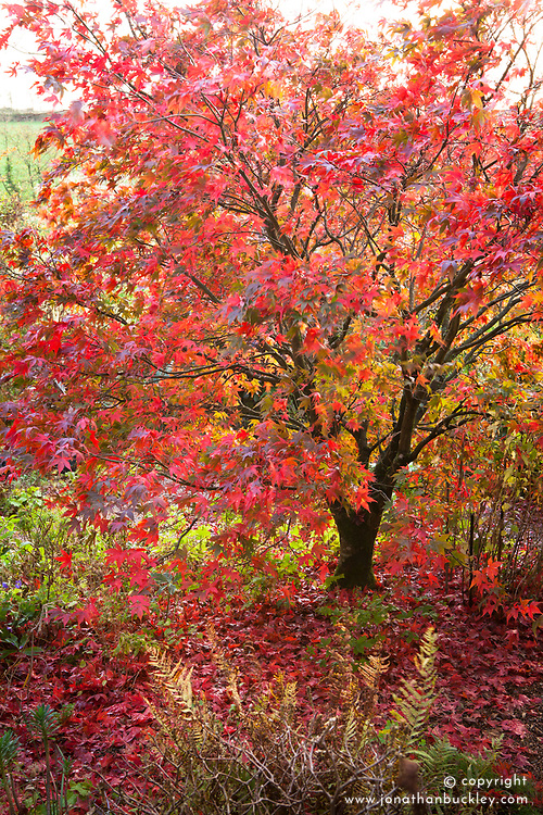 Acer palmatum 'Osakazuki'  in autumn colour at Glebe Cottage