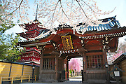 A japanese five storied pagoda to the left of the main gate of the Gojunoto temple located in Hirosaki northern Japan. It is spring time and surrounded with beautiful cherry blossoms.