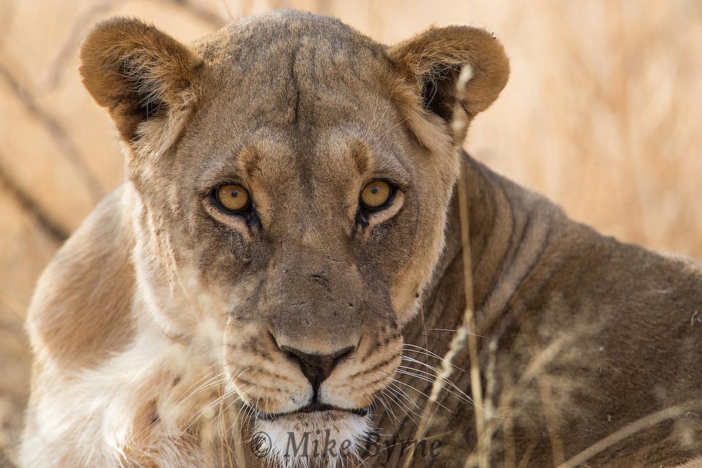 African Lion at Erindi, Namibia.