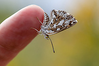 Apodemia mormo cythera (Mormon Metalmark) at Big Rock Creek, Los Angeles Co, CA, USA, on 12-Sep-15