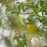 Yellow warbler, Cherry River, Bozeman, Montana
