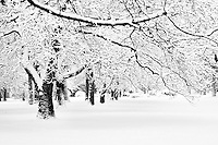 Snowy trees in a winter wonderland park in black and white