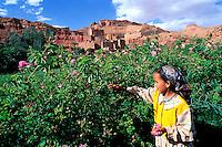 Maroc - Haut Atlas - Vallée du Dadès - Vallée des Roses - Récolte des Roses - Village de Tourbist