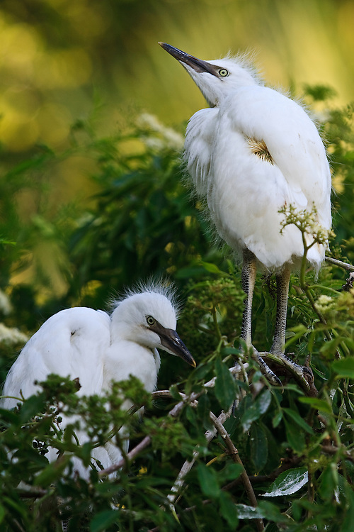 Wild fledgling cattle egret (Bubulcus ibis) siblings perched in a bush, St. Augustine Alligator Farm Rookery, Anastasia Island, St. Augustine, Florida.