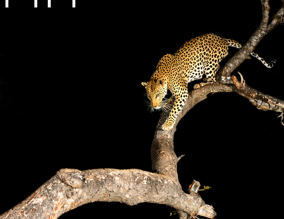 Leopard in tree at night
