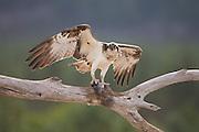 Osprey (Pandion haliaetus) with prey, Cairngorms National Park, Scotland.
