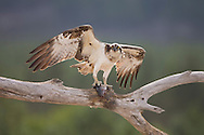 Osprey (Pandion haliaetus) with prey, Cairngorms National Park, Scotland.