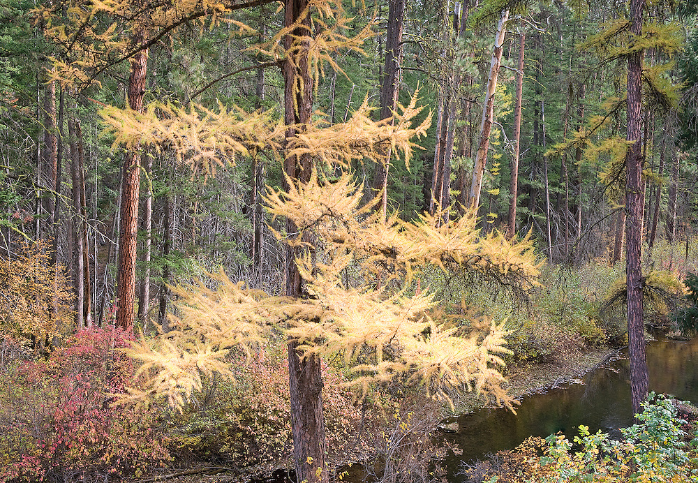autumn larch Oregon