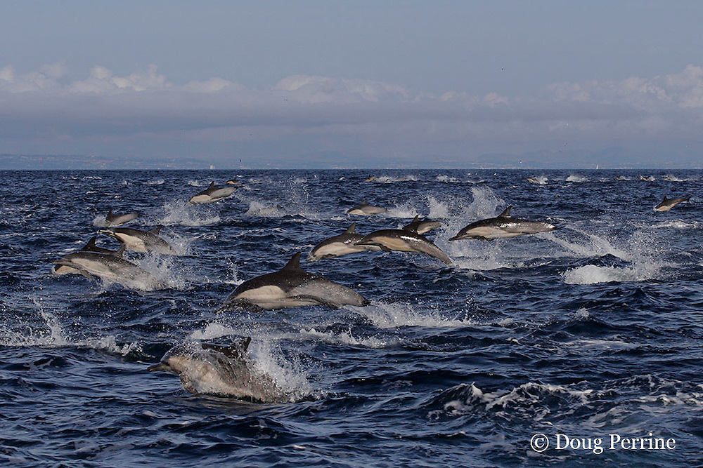 long-beaked common dolphins, Delphinus capensis <br /> (formerly lumped with common dolphin, Delphinus delphis ) porpoising at high speed, off San Diego, California, U.S.A. ( eastern Pacific Ocean )