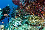 Hawksbill Turtle (Eretmochelys imbricata) & Diver<br /> Raja Ampat<br /> West Papua<br /> Indonesia<br /> Critically Endangered