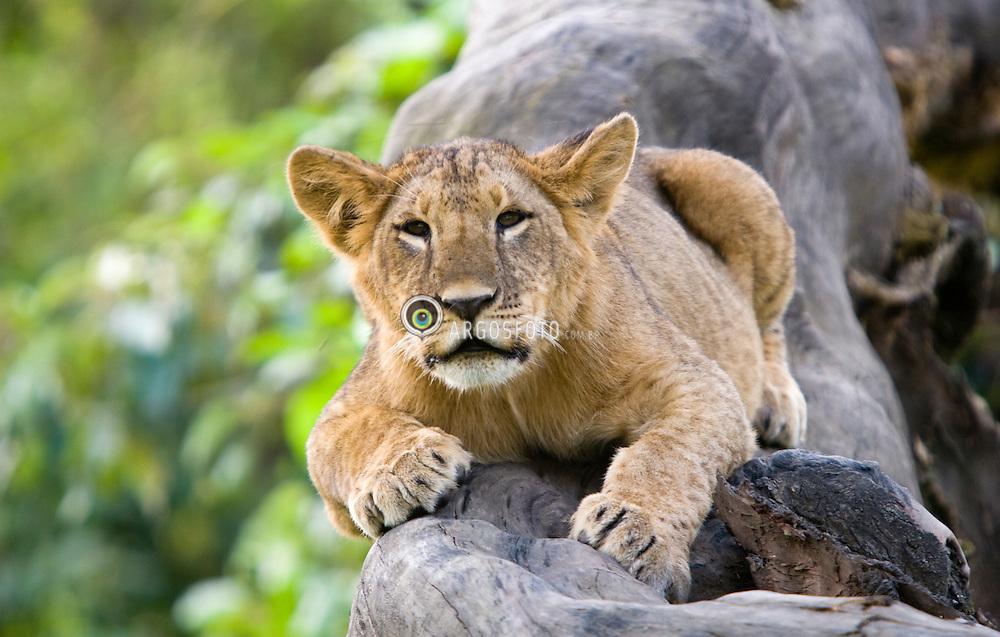 Lioness at Lake Nakuro National Park. The lioness (Panthera leo) is a member of the family Felidae and one of four big cats in the genus Panthera.. / Filhote de leao descanca em uma arvore do Parque Nacional Lago Nakuro no Quenia.