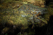tree sprouting out of mossy rock cliff at Mount Aspiring