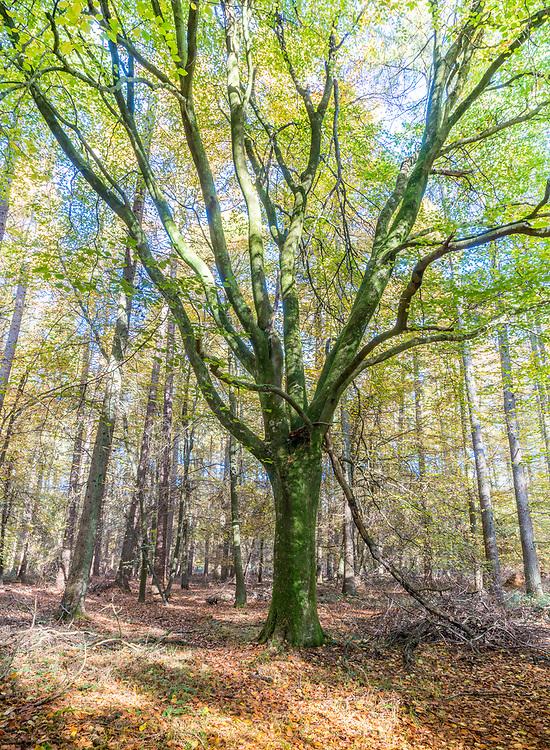 Autimn leaves in the Ashridge forest.