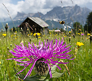 A hoverfly flies over a purple knapweed flower. Centaurea is a genus of hundreds of species of herbaceous thistle-like flowering plants (commonly called knapweed, starthistle, centaury, centory) in the family Asteraceae. Centaurea are found only north of the equator. A lift from Corvara in Badia to Col Alt reaches a scenic alp plateau with pleasant signed walks to mountain hotels including Pralongia, in the Dolomites, Italy, Europe. Corvara is a prestigious tourist center in Alta Badia, at the top of Val/Valle/Valley of Badia in the province of Südtirol/South Tyrol/Alto Adige, Italy. Corvara is surrounded by the peaks of the Dolomites (or Dolomiti), a part of the Southern Limestone Alps in Europe. The Dolomites were declared a natural World Heritage Site (2009) by UNESCO.