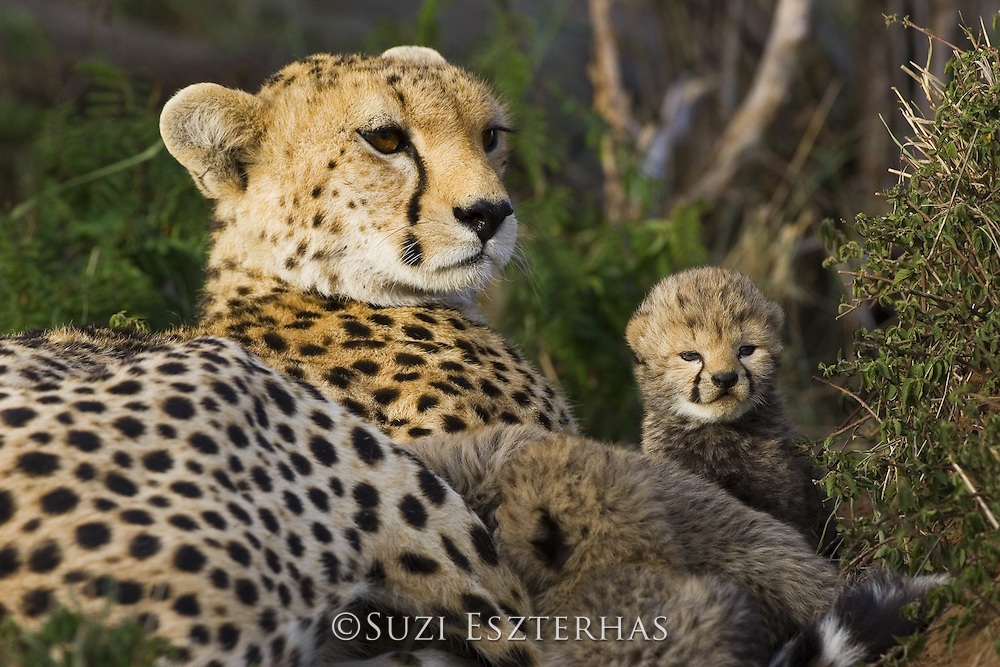 Cheetah<br /> Acinonyx jubatus<br /> Mother and 13 day old cub in nest<br /> Maasai Mara Reserve, Kenya
