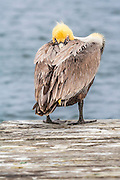 A Brown pelican in its winter breeding plumage. In the summer .their yellow head turns brown. Photographed on Ocracoke Island .North Carolina.