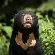 Sun Bear (Helarctos malayanus) with U-shaped chest marking in Kaeng Krachan national park, Thailand