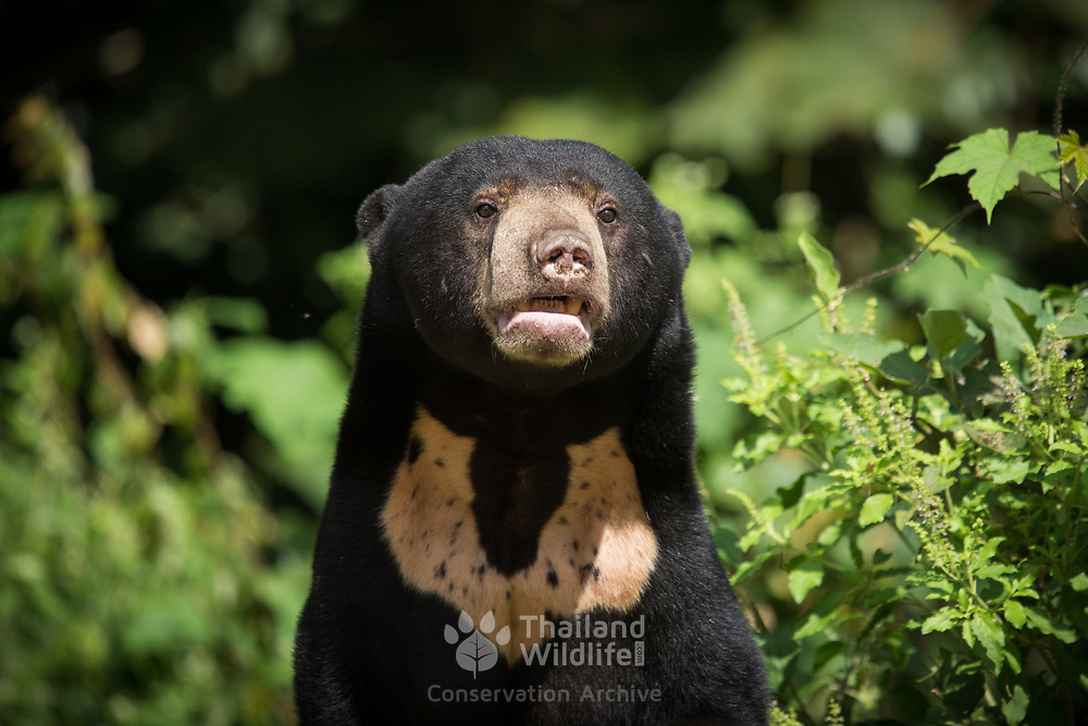 Sun Bear (Helarctos malayanus) with U-shaped chest marking in Kaeng Krachan national park, Thailand