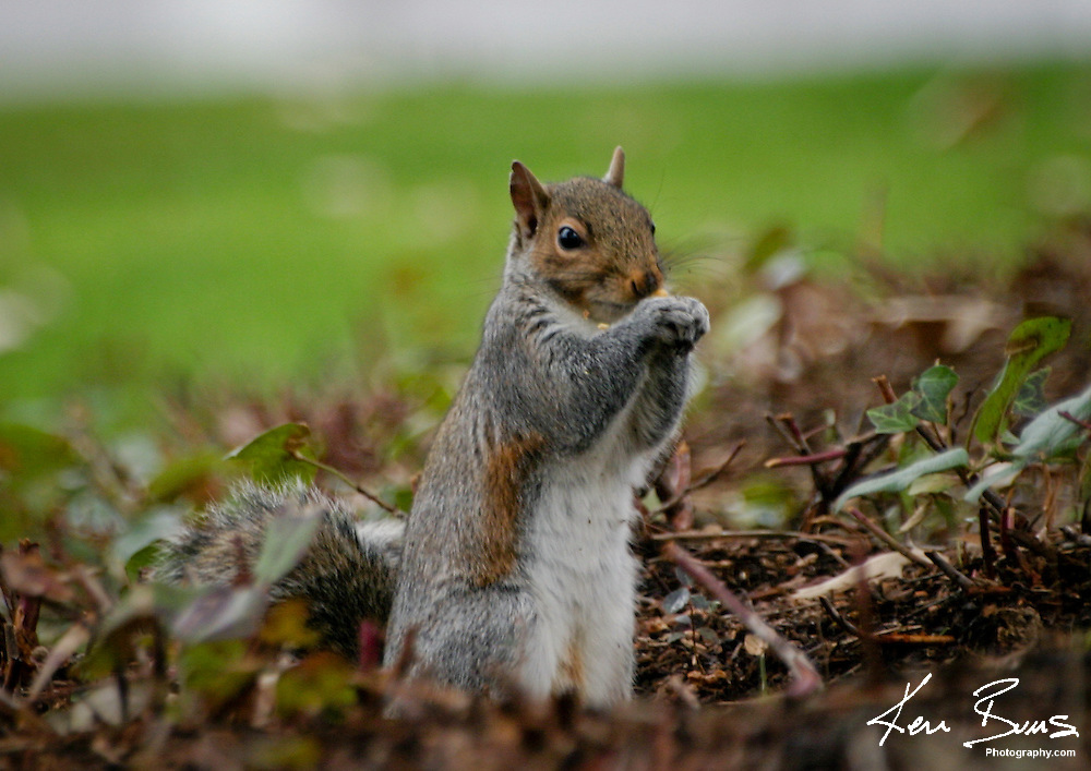 A Squirrel eating a nut on an autumn day.