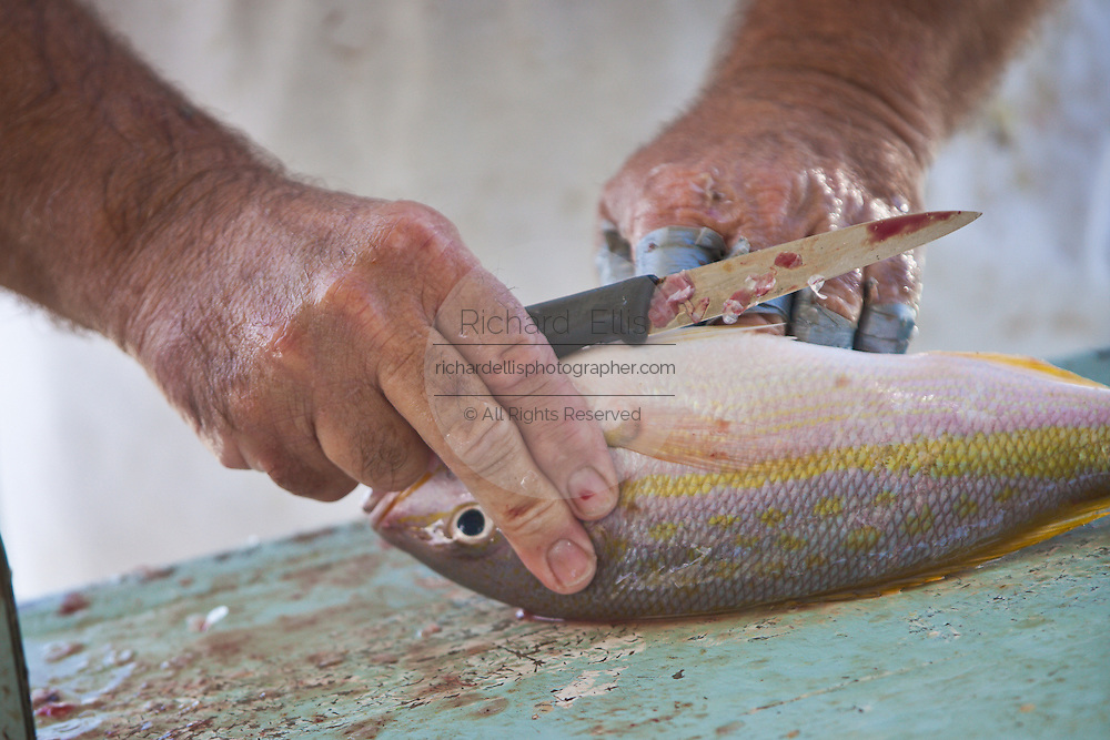 Freshly caught yellow tail snapper are cleaned at the harbor at Stock Island, Key West, Florida.