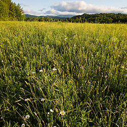 Daisies in Sabins Pasture in Montpelier, Vermont.