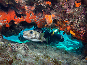 Scuba diver and Pufferfish on Molasses Reef, Key Largo, FL