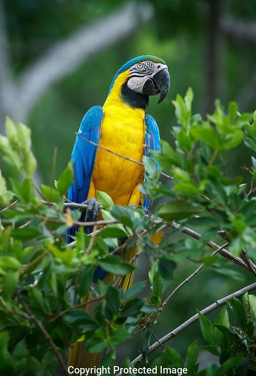 Blue and Yellow Macaw. (Ara ararauna), Araras Eco Lodge, Sao Paulo, Brazil, Isobel Springett