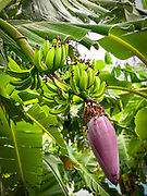 Banana, Omao, Fatu Hiva, Marquesas, French Polynesia, South Pacific