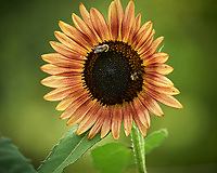 Brown Sunflower. Image taken with a Nikon Df camera and 70-300 mm VR lens (ISO 1000, 300 mm, f/5.6, 1/1250 sec).