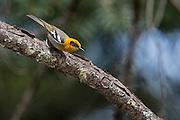 Olive Warbler, Peucedramus taeniatus, Pima County, Arizona