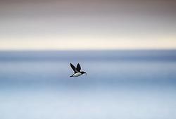 Brunnich´s Guillemot (Uria lomvia) in Svalbard