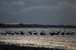 © Licensed to London News Pictures. 01/02/2014. Titchfield, Hampshire, UK. A flock of geese at dawn as storm clouds pass in the distance on what is set to be another stormy day, with more wet and windy weather forecast. Photo credit : Rob Arnold/LNP
