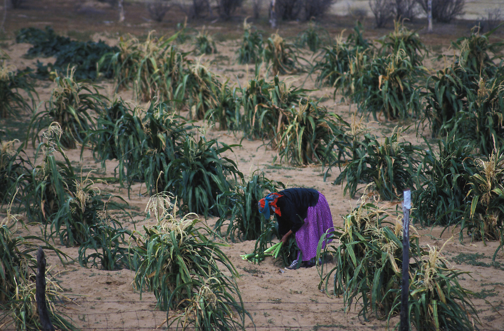 """Harvest - Pauline Whitesinger, who doesn't know her age, harvests corn from her hand planted field.  """"We are the children of the earth, of the bright colored corn,"""" she says, """"we were placed here on the Earth to follow the corn pollen path.""""  As scholar joseph Campbell noted, the corn pollen path is a Navajo symbol for living properly, in accordance with tradition and religious beliefs that tie people to the land."""
