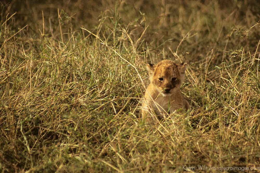 Africa, Kenya, Maasai Mara. Lion cub of the Mara.